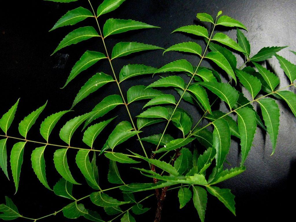 top 12 benifits of neem